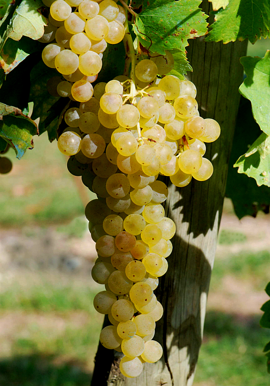 Trebbiano white grapes