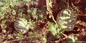 When Watermelons Grew And Self-Esteem Blossomed