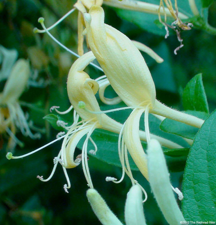 honeysuckles sweet yellow white 2