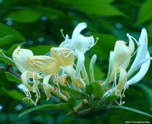 Hanging Low, Thick And Fragrant