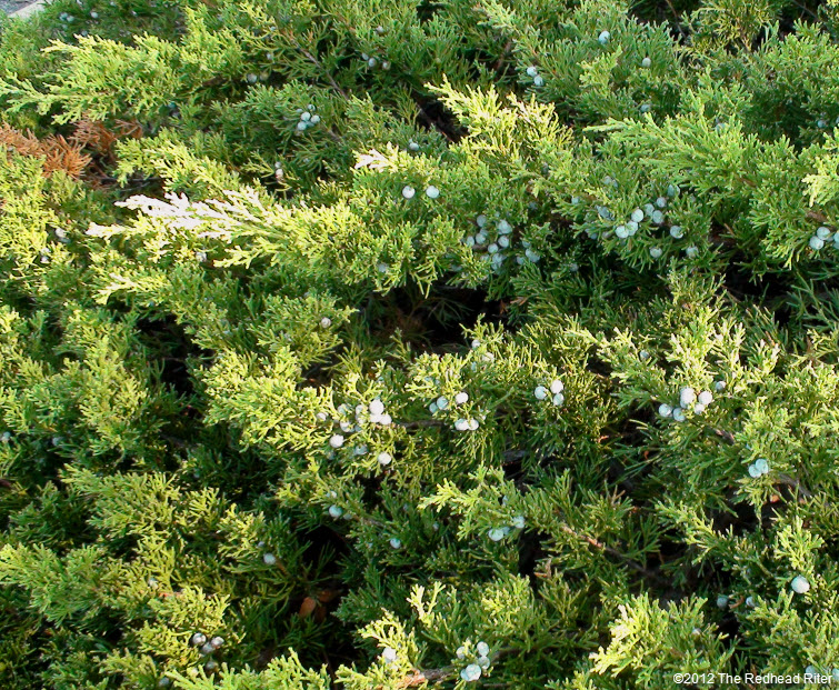 large evergreen bush with berries 2