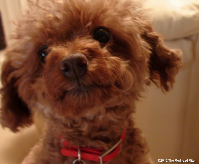 pure bred red toy poodle  2