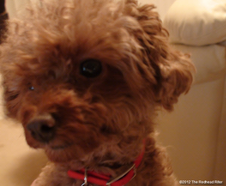 pure bred red toy poodle 3