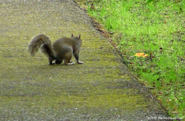 single squirrel walking on path