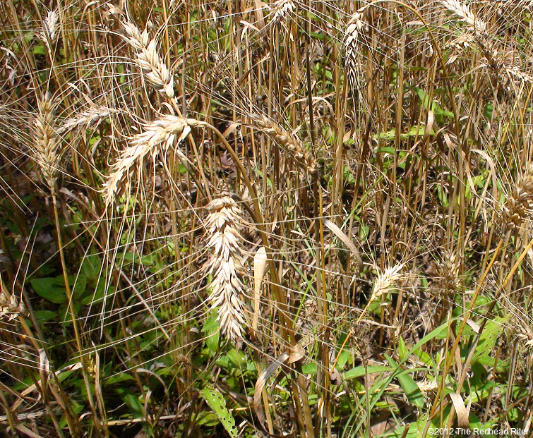 wheat reap what you sow 1