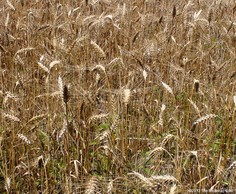 wheat reap what you sow 2