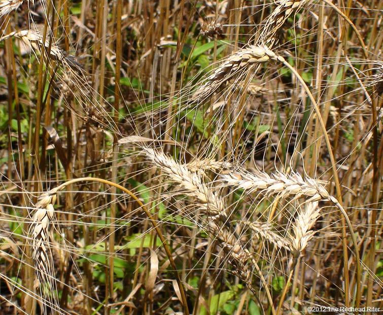 wheat reap what you sow 3