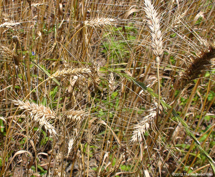 wheat reap what you sow 5