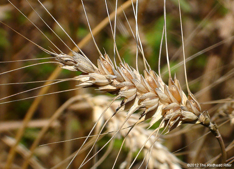 wheat reap what you sow 6
