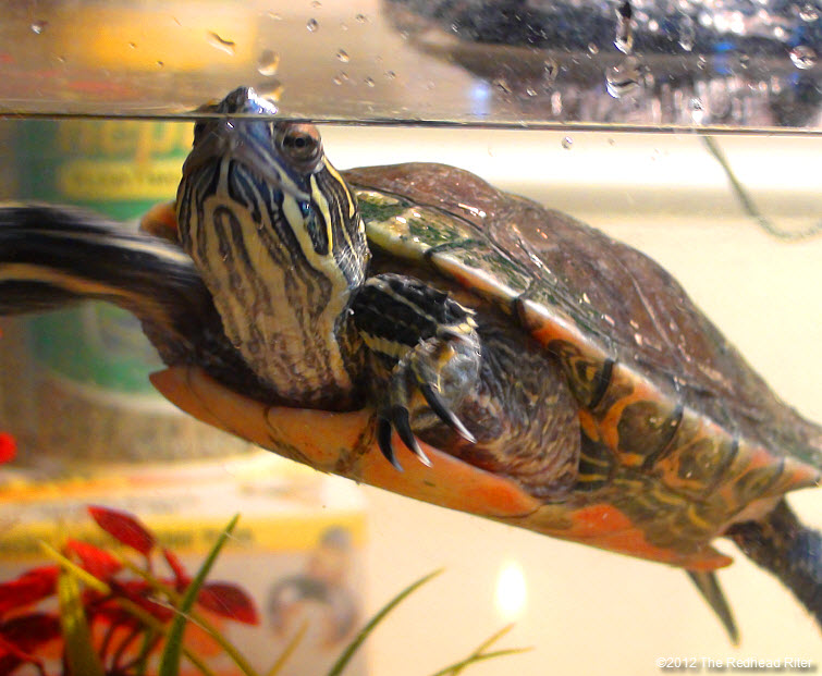 Turtle the painted turtle
