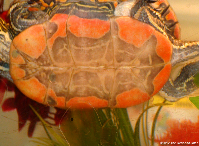 orange tummy on painted turtle