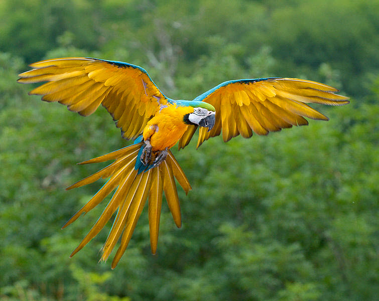 parrot Blue yellow Macaw flying