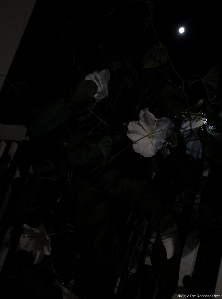 Moonflowers Glow In Moonlight 1