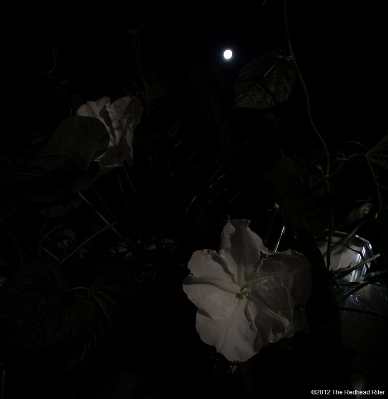 Moonflowers Glow In Moonlight 2