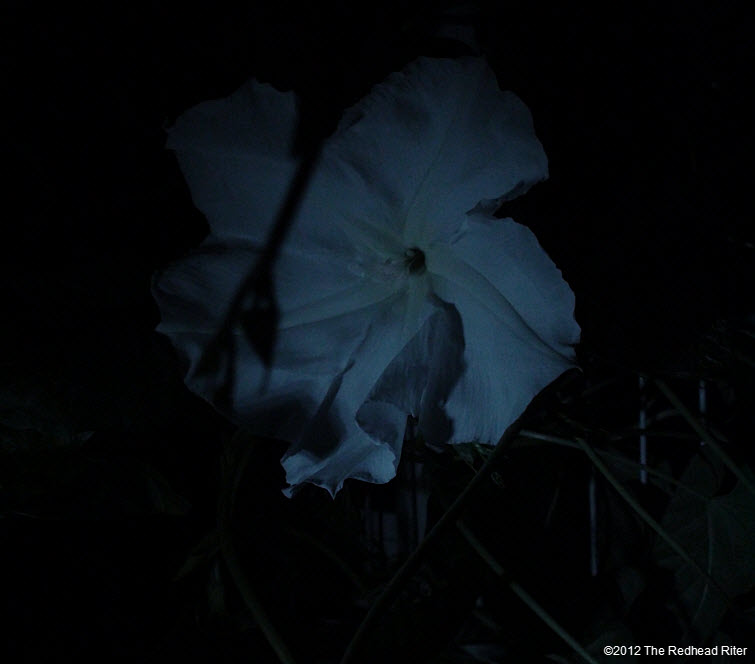 Moonflowers Glow In The Dark 1