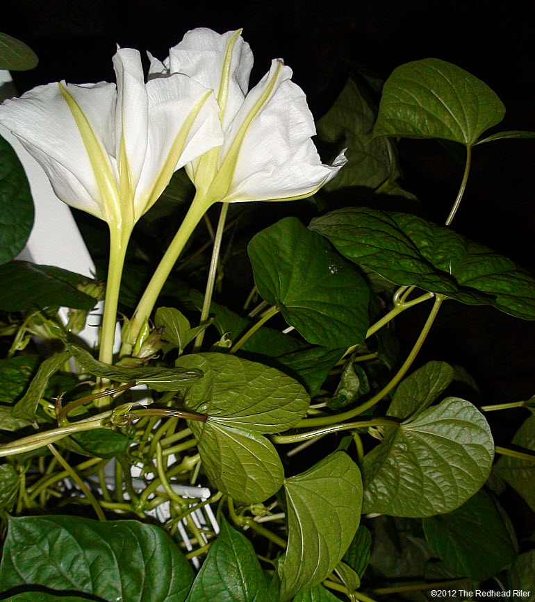 Moonflowers Glow In The Dark 10