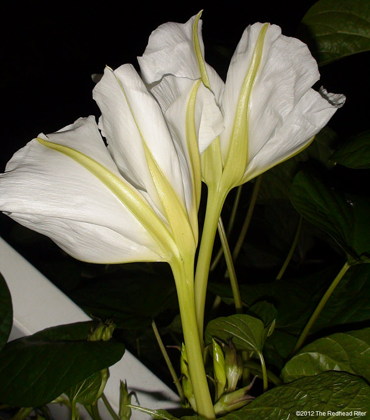 Moonflowers Glow In The Dark 11