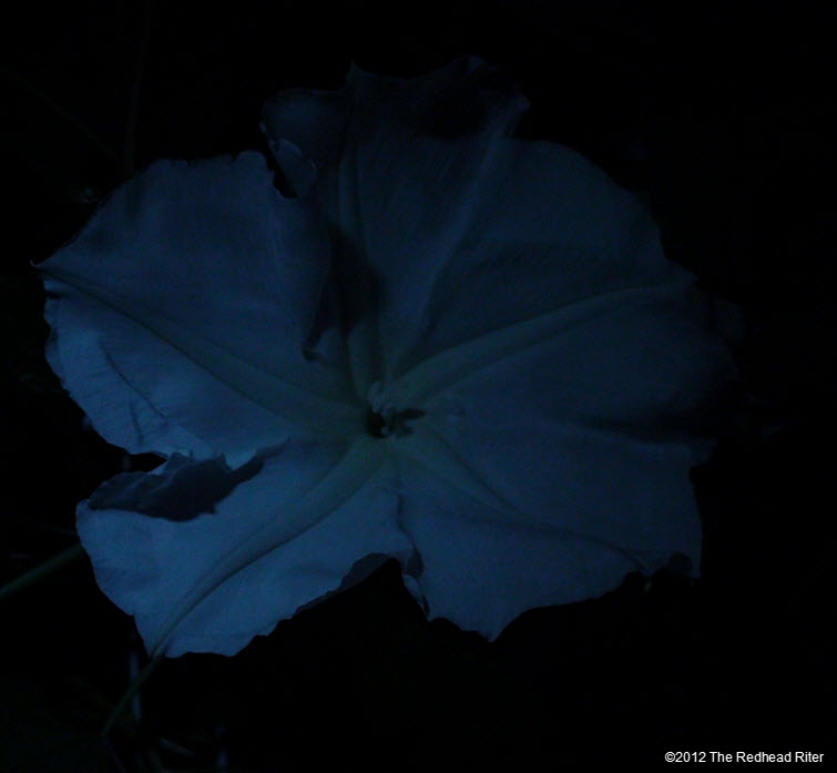 Moonflowers Glow In The Dark 3