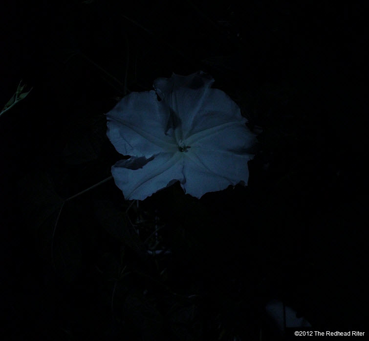Moonflowers Glow In The Dark 4