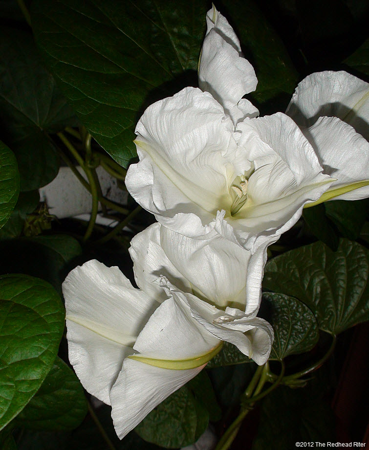 Moonflowers Glow In The Dark 8