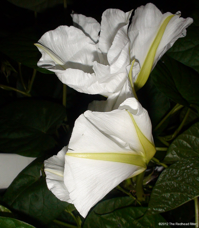 Moonflowers Glow In The Dark 9