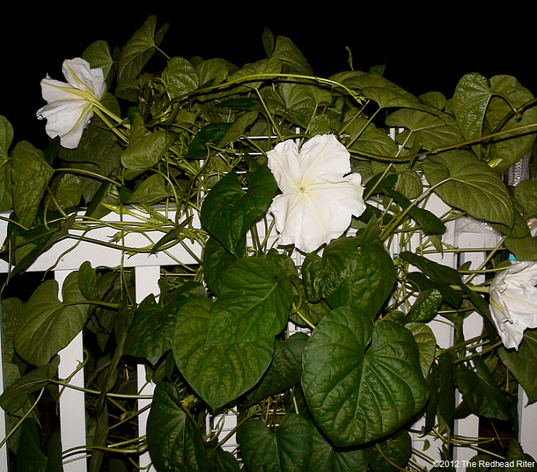 The Moonflower grows on vines 1