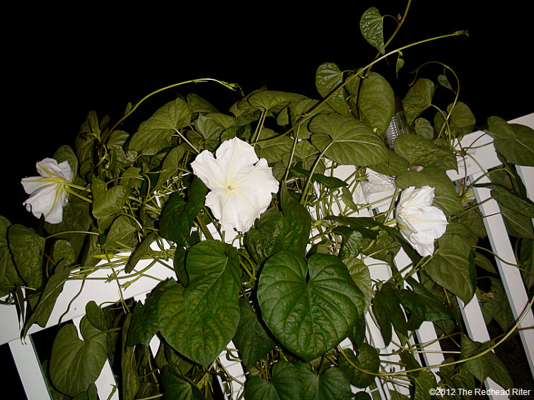 The Moonflower grows on vines 2