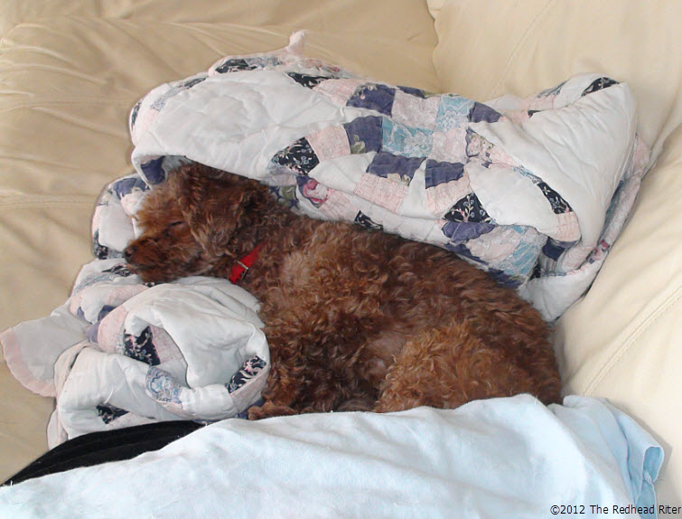 sleeping dog red toy poodle