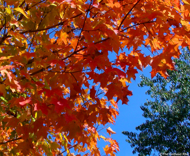 fall red yellow leaves tree