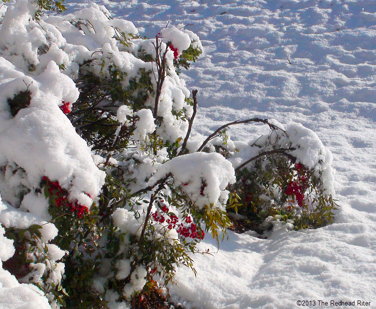 snow berries the morning after