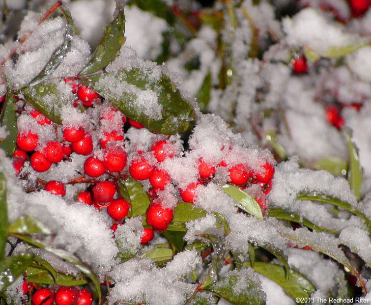 snow red berries ice