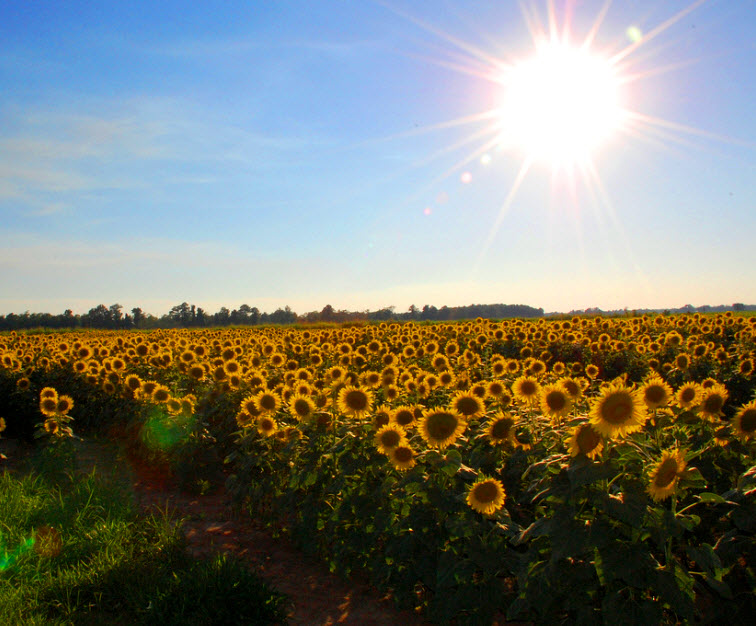 field of sunflowers blue sky