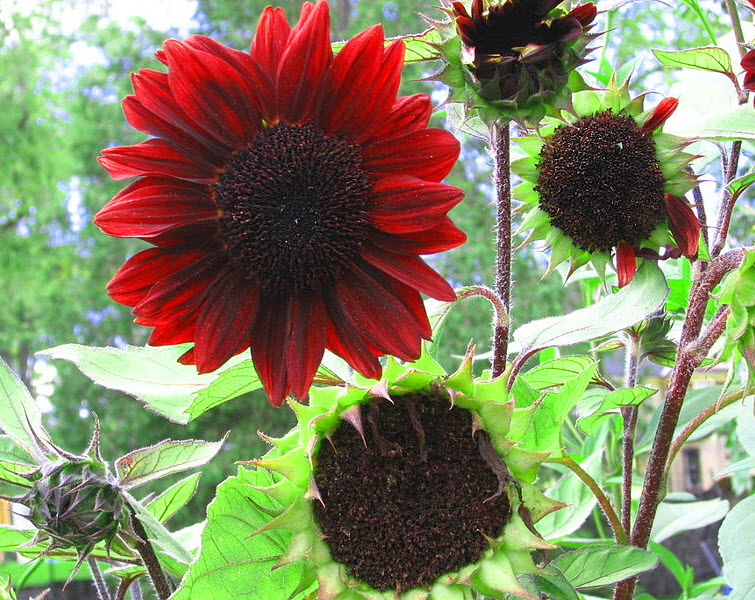 prado red sunflower dark center