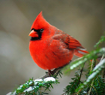 state bird of Virginia - Cardinal