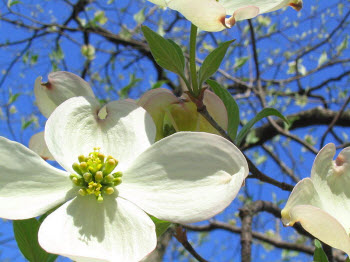 State Flower of Virginia - Flowering Dogwood