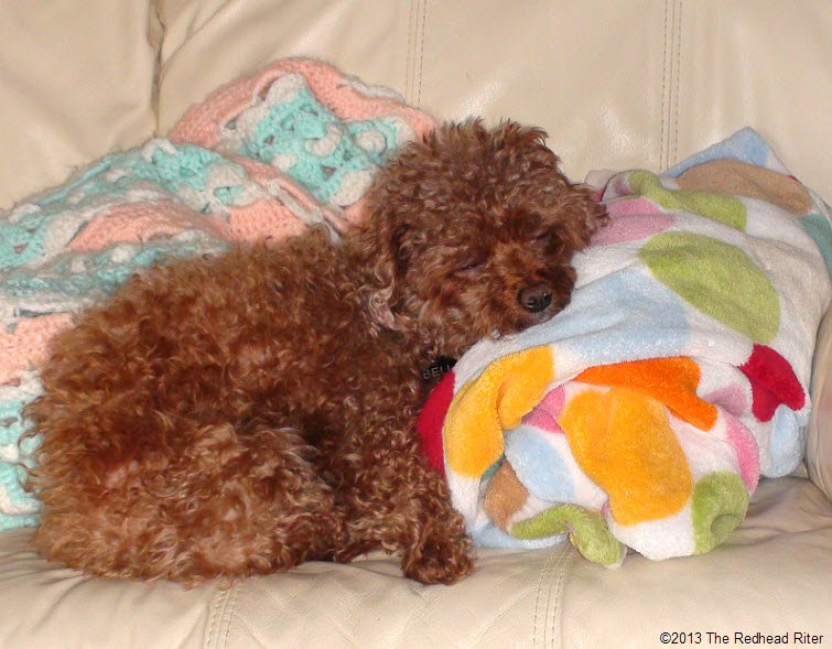 Bella red poodle sleeping on couch