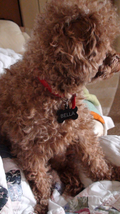 Bella red toy poodle