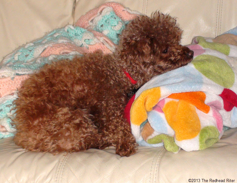 red poodle sleeping on couch