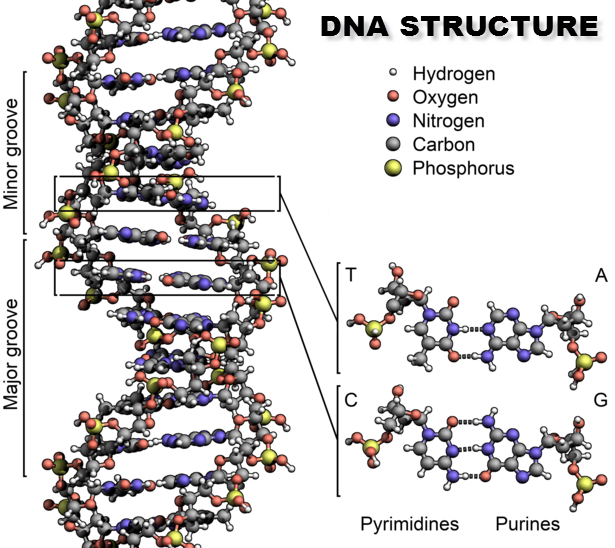DNA structure Francis Crick Discovery
