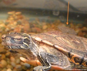 Turtle, The Western Painted Turtle Playing Uno