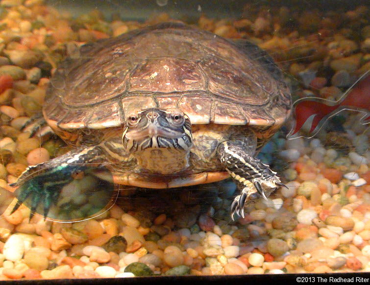 Turtle Western Painted Turtle 3