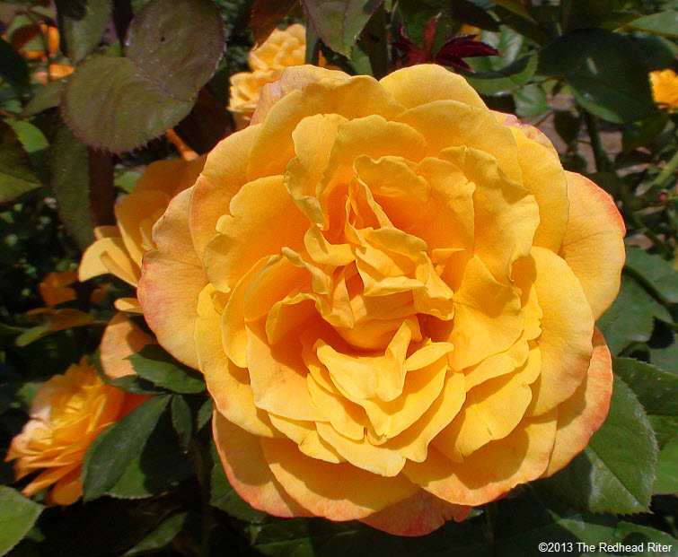 yellow blooming rose sunshine