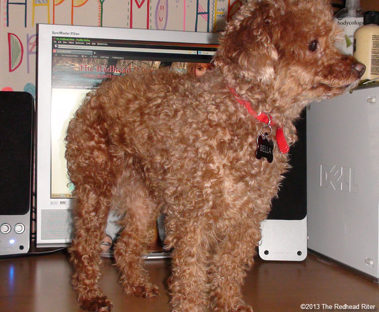 clean desk red toy poodle relaxing