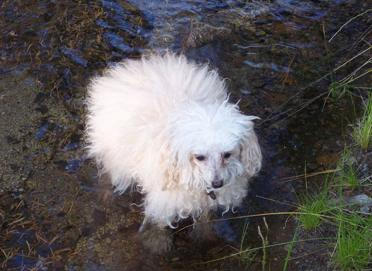 older white poodle in water
