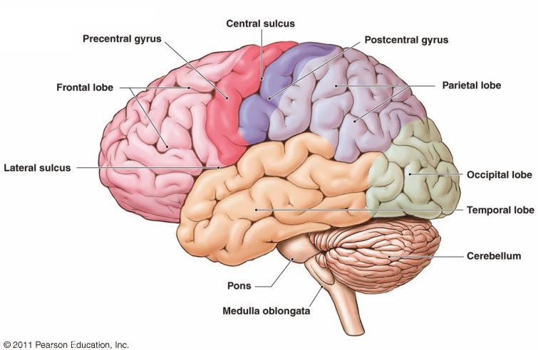 brain diagram parts labeled