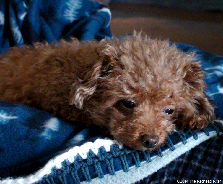Bella red toy poodle getting sleepy