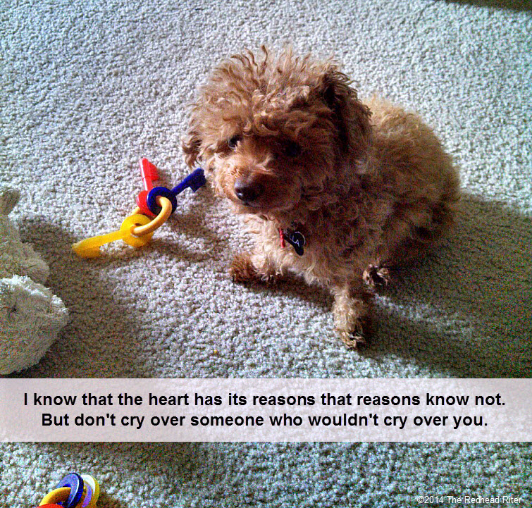 red toy poodle says dont cry over someone who wouldnt cry over you
