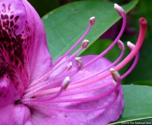Rhododendron Flowers Today, In Love And Life