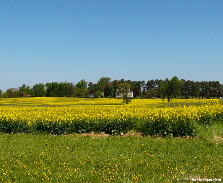 Yellow fields of flowering rapeseeds for canola oil in richmond yellow field flowering rapeseeds canola oil richmond virginia usa mightylinksfo Images