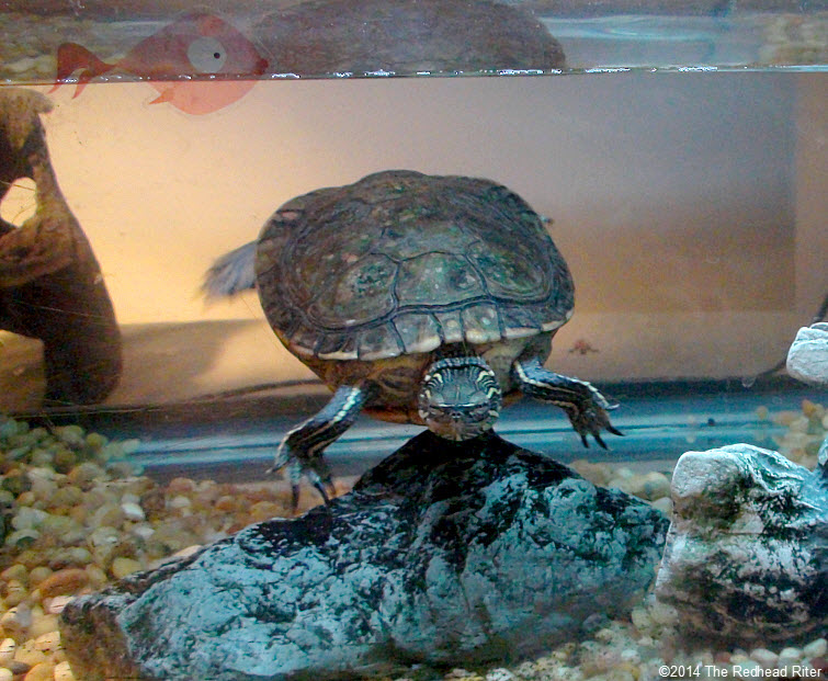 Turtle, my painted turtle, has scutes.